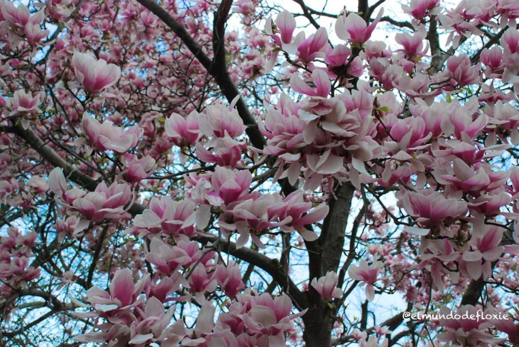 magnolias1